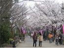 桜(丸山公園)