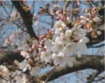 桜(2006年・会議所)