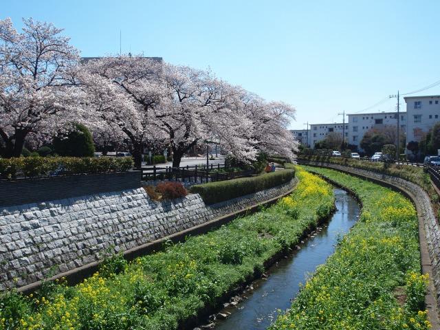 2014年3月31日の桜