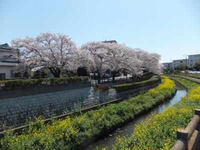 2014年「桜を楽しむ会」-2