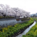 商工会館&上尾市文化センター周辺の桜の様子(H30.3.27)